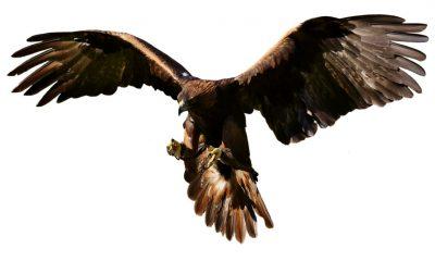 Adler Flying