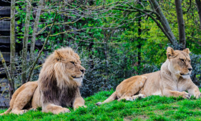 Male and Female Lions on a hill